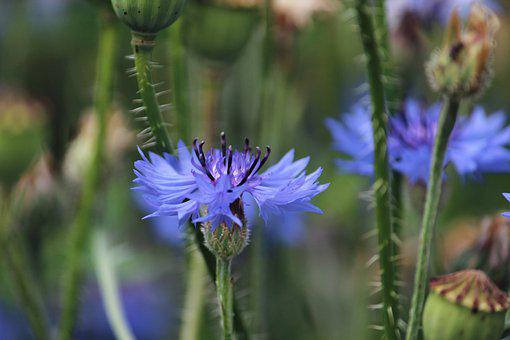 Cornflower, Flower, Blue Flower, Buds, Blossom, Bloom