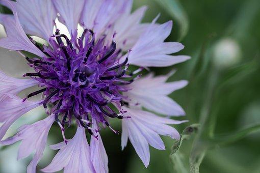 Cornflower, Flower, Purple Flower, Blossom, Bloom
