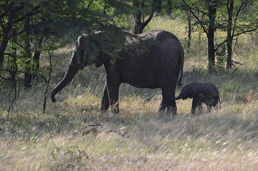 Elephant, Baby, Tusks, Pachyderms, Game Reserve, Safari