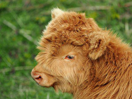 Highland Cow, Calf, Animal, Young Animal, Cow, Cattle