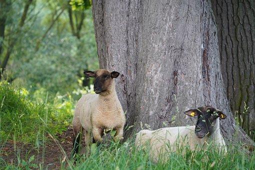 Sheep, Animals, Mammal, Grass, Livestock, Wool