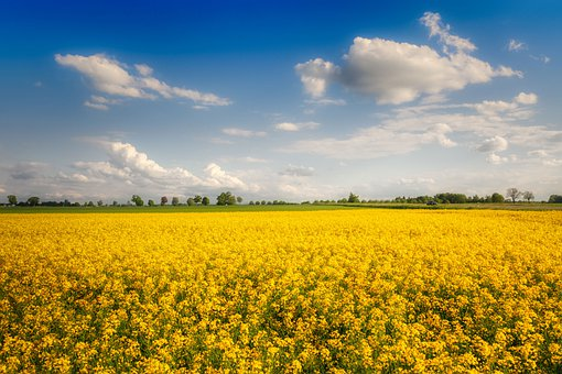Flowers, Rapeseeds, Yellow Flowers, Clouds, Sky, Nature