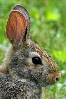Rabbit, Animal, Long Eared, Rabbit Ears, Fur