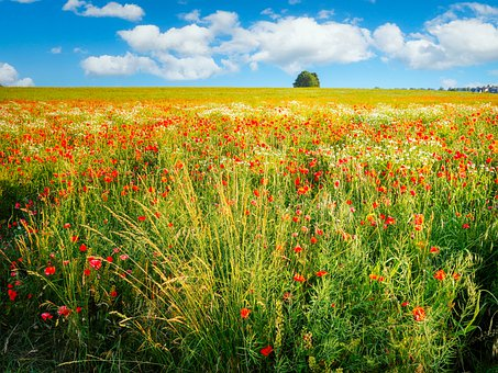 Poppies, Flowers, Buds, Red Poppies, Red Flowers
