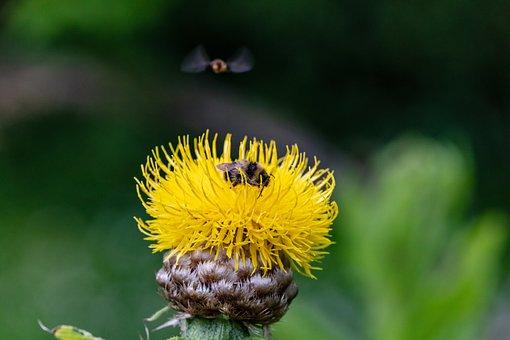 Flower, Thistle, Bee, Bug, Wings, Aster