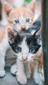 Cats, Kittens, Felines, Whiskers, Pet, Domestic, Paws