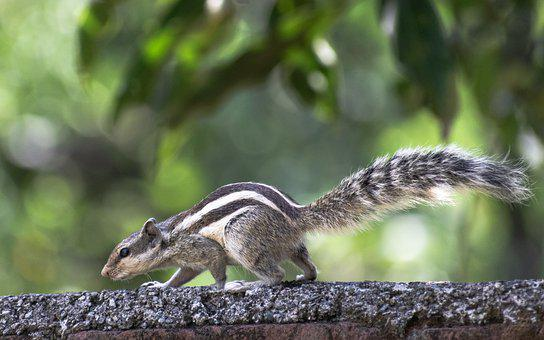 Squirrel, Rodent, Wildlife, Forest, Wilderness, Nature