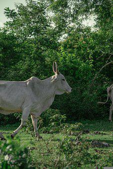 Cow, Animal, Livestock, Nature, Grass, Agriculture