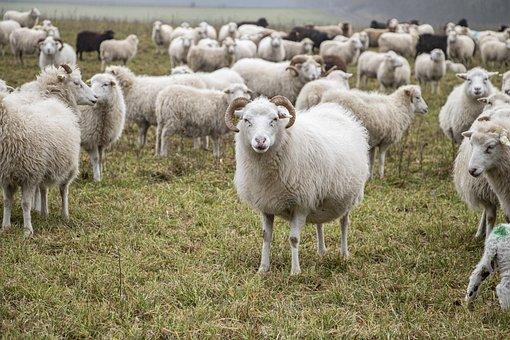 Sheeps, Flock, Animals, Farm Animals, Grass, Livestock