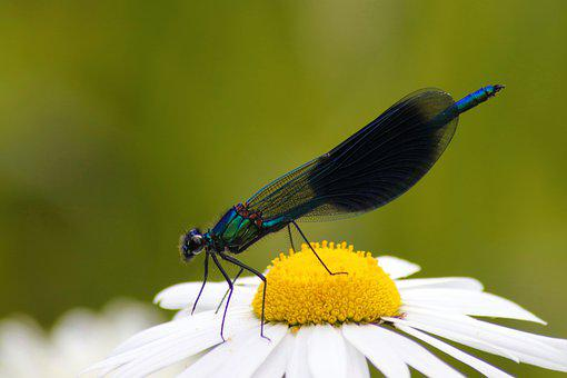 Dragonfly, Banded Demoiselle, Insect, Flight Insect