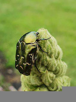 Jewel Beetle, Mullein, Insect, Green, Biodiversity