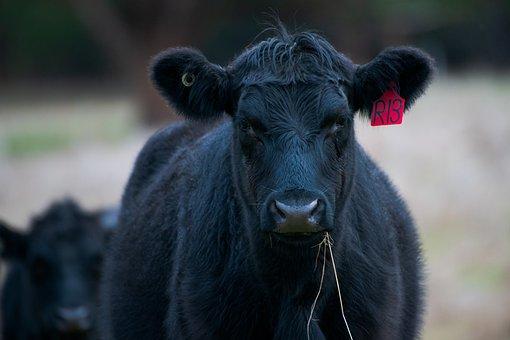 Cow, Cattle, Animal, Bovine, Beef, Black Angus