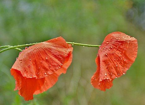 Poppy, Flowers, Dewdrop, Dew, Red Poppies, Red Flowers