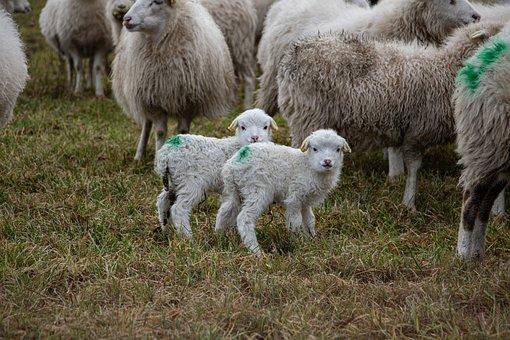 Sheeps, Lambs, Flock, Animals, Farm Animals, Grass