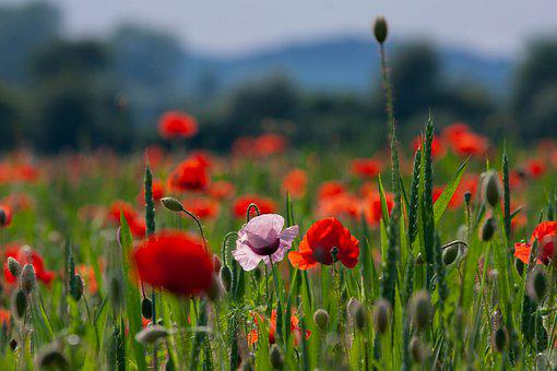 Poppies, Flowers, Buds, Field Of Poppies, Petals