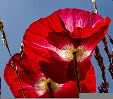 Poppies, Flowers, Red Poppies, Red Flowers, Petals