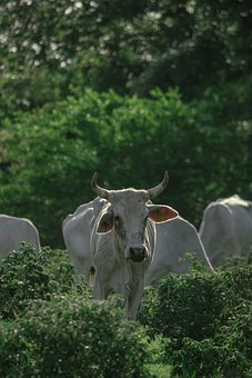 Cows, Animals, Livestock, Nature, Grass, Agriculture