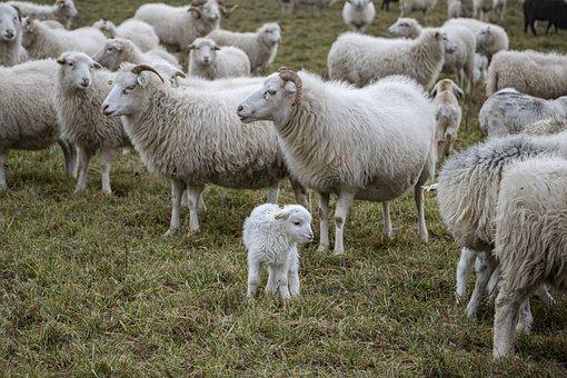 Sheeps, Lamb, Flock, Animals, Farm Animals, Grass