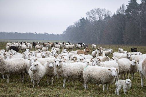 Sheep, Lamb, Flock, Animals, Farm Animals, Grass