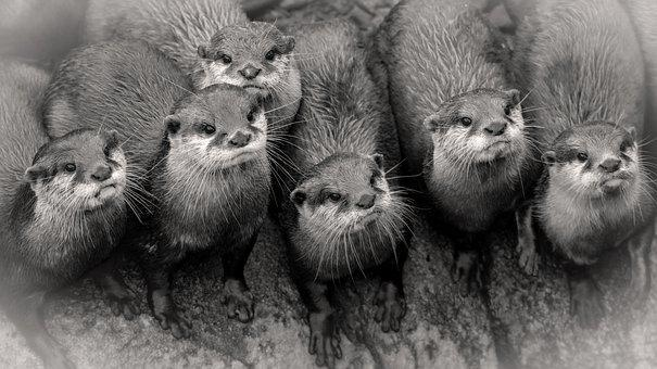 Otters, Animals, Mammals, Semiaquatic Animals, Whiskers