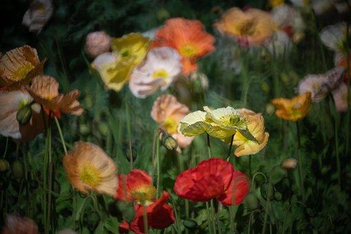 Poppies, Flowers, Field Of Poppies, Meadow, Petals