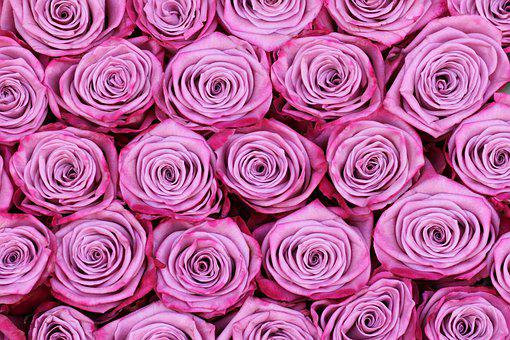 Roses, Flowers, Pink Roses, Pink Flowers, Petals