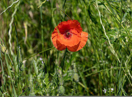 Poppy, Flower, Red Poppy, Red Flower, Petals
