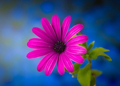 Aster, Flower, Purple Aster, Purple Flower, Petals