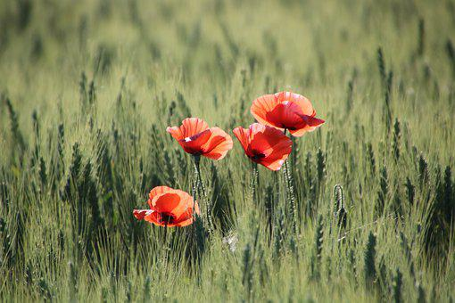 Poppies, Flowers, Wheat Field, Red Poppies, Red Flowers