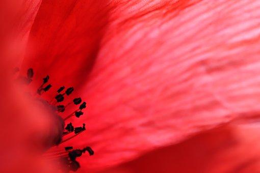 Poppy, Flower, Pistil, Red Poppy, Klatschmohn