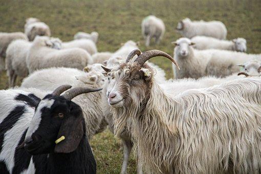 Sheeps, Horns, Flock, Animals, Farm Animals, Grass