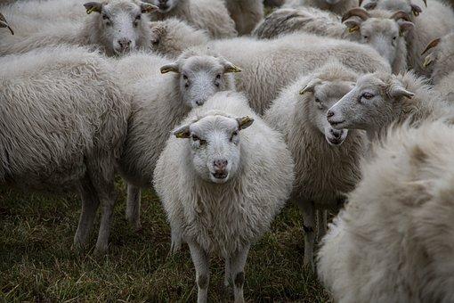 Sheep, Animals, Farm Animals, Grass, Livestock, Wool