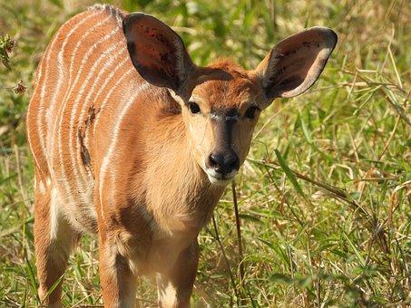 Deer, Buck, Ruminant, Antler, Hirsch, Animal, Wildlife