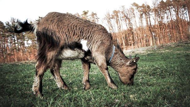 Goat, Dwarf Goat, Animal, Farm, Live Stock, Farm Animal