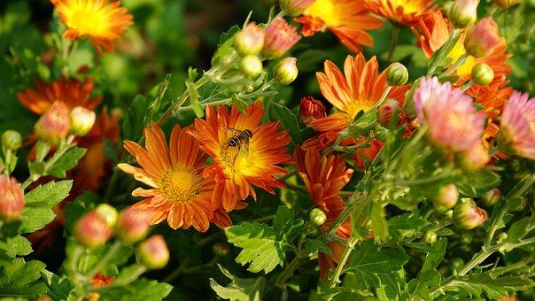 Flower, Chrysanthemum, Petals, Bee, Pollen, Pollination