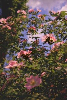 Flowers, Rosehip, Bush, Leaves, Foliage, Flora, Botany