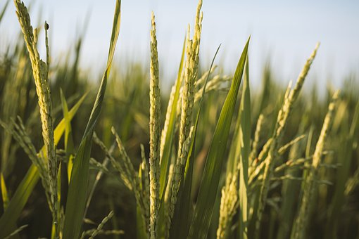 Rice, Paddy Field, Farm, Cereals, Grains, Plant, Crop
