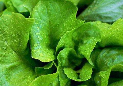 Lettuce, Leaves, Salad, Fresh, Green Salad, Vitamins
