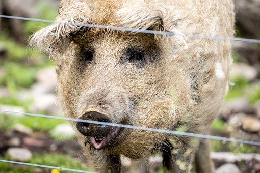 Pig, Animal, Happy, Livestock, Lucky, Cute, Farm