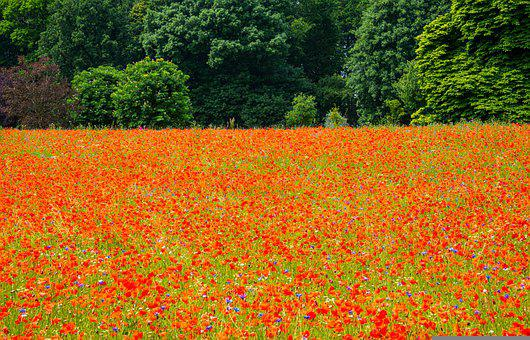 Poppy, Flower, Field Of Poppies, Petals, Blossom, Bloom