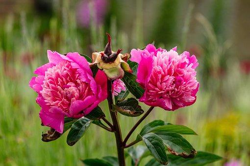 Rose, Pink, Red, Pair, Bush, Bloom, Blossom, Love