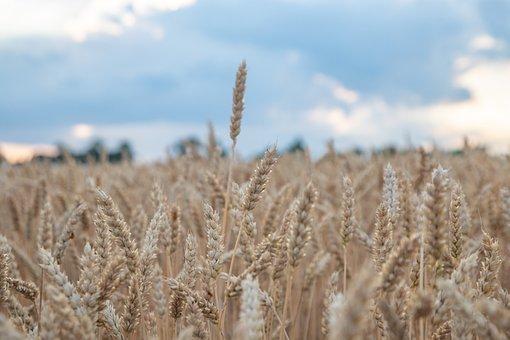 Wheat, Field, Barley, Wheat Field, Crops, Grass