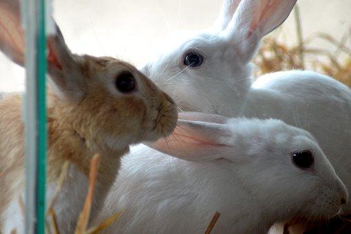 Rabbits, Animals, Mammals, Fur, Pet, Whiskers