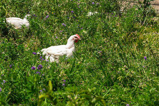 Chickens, Animals, Poultry, Farm, Agriculture, Feathers