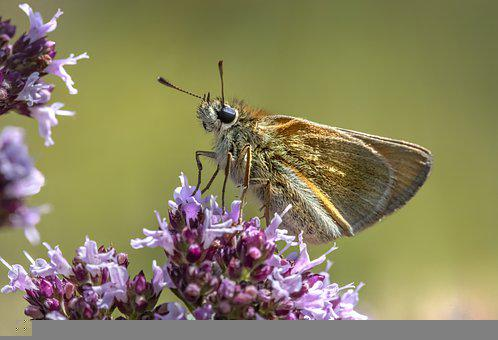 Essex Skipper, Butterfly, Flower, Pollinate