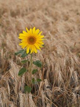 Sunflower, Wheat, Barley, Fields, Wheat Field, Crops