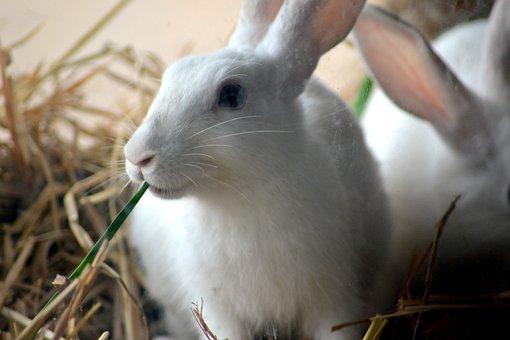 Rabbits, Animals, Mammals, Eating, Fur, Pet, Whiskers