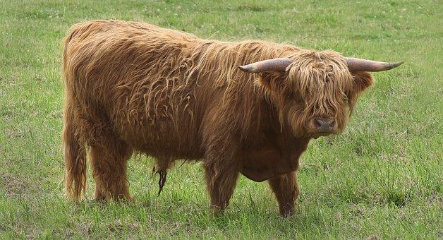 Highland Cattle, Cow, Horns, Animal, Shaggy Coat