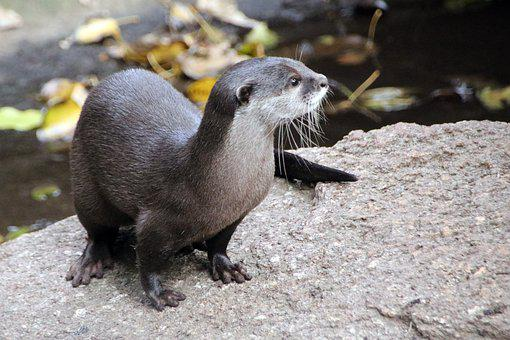 Otter, Animal, Mammal, Semiaquatic Animal, Animal World