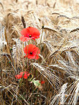 Poppies, Flowers, Wheat, Field, Wheat Field, Barley